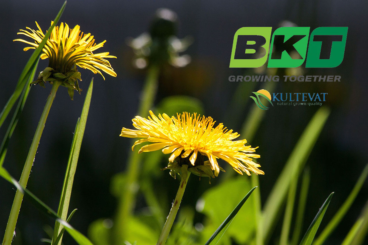 BKT-Kultevat-collaborate-on-dandelion-rubber-development