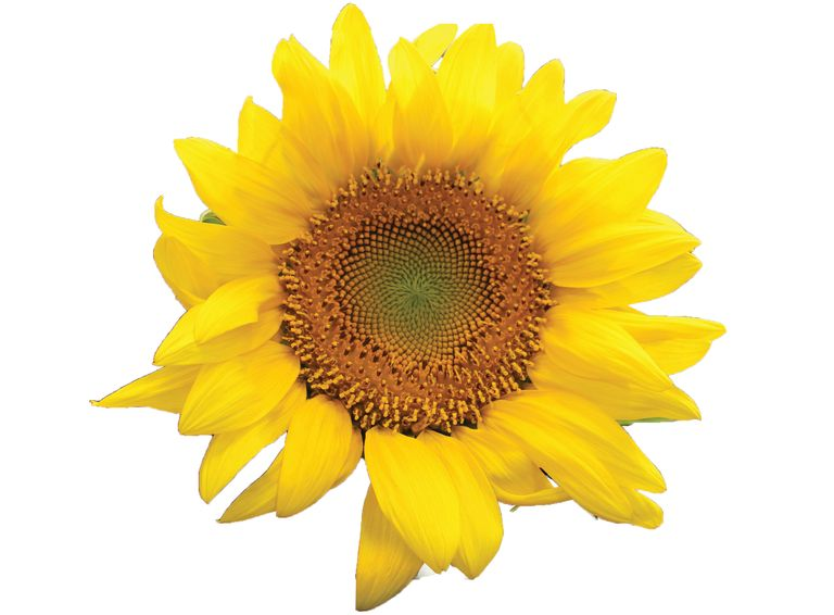 Sunflower rubber research expands with new funding