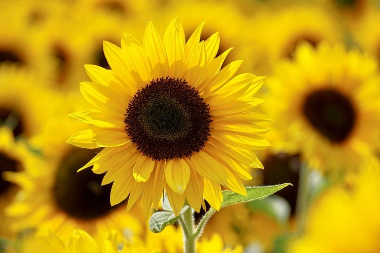 Meyer: Sunflowers seek their due